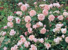 The Colette™ Rose | Star Roses & PlantsHeavenly pink, damask-scented blooms blanket the lush green foliage of this hybrid climber. Old-fashioned blooms adorn the vining canes as they cover any surface with extremely disease-resistant foliage. The epitome of the modern, old-fashioned rose for the next millennium.  Flowers / Petal Count: Medium, 25 petals Foliage: Medium green Fragrance: Strong citrus fragrance Height: 8-10'