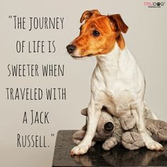 Here are some quotes and sayings why Jack Russell Terriers are the best dogs. Perros Jack Russell, Jack Russell Mix, Jack Russell Puppies, Rat Terriers, Fox Terrier, Terrier Mix, White Terrier, Parson Russell Terrier, Jack Russell Terriers