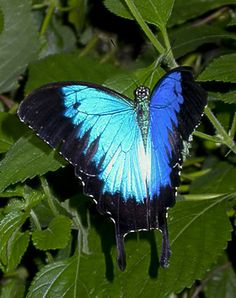 Australian butterfly...The Ulysses butterfly (Papilio ulysses), also known as the Blue Mountain Butterfly or the Blue Mountain Swallowtail, is a large swallowtail butterfly...