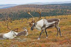 For the antlers. Kaunispää, Inari, Finland...Mikael Rantalainen