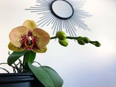 My orchid is blooming today 😍 Plants Are Friends, Lotus, Orchids, Bloom, Flowers, Instagram, Lilies, Royal Icing Flowers, Flower