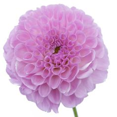 FiftyFlowers.com - Clouds of Lavender Button Dahlia Flower