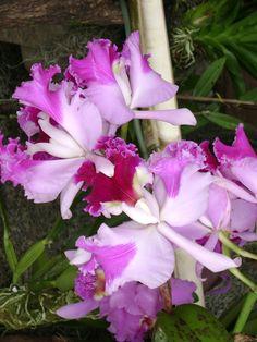 Orquideas Colombianas