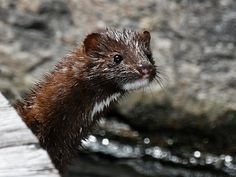 If you have the privilege of getting close to a mink, it'll stink. But don't let the smell scare you off. These fierce, wide-ranging members of the weasel tribe offer fine entertainment to those who watch them.