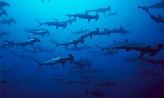 Oceanic Whitetip Shark – One of the amazing things about sharks is you can find z large variety of them. Yes, take for example the oceanic white tip shark.