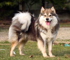 chien finnois de laponie blanc