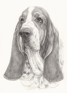Dierenportret Potloodtekening Basset Basset Hound Dog, Beagle, Animal Sketches, Animal Drawings, Poodle Drawing, Dog Coloring Page, Bassett Hound, Desenho Tattoo, Dog Rules