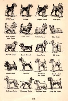 1949 Breeds of Terrier Dogs illustration by catchingcanaries, $9.00