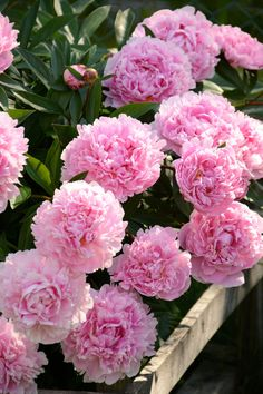 in the garden. Most Beautiful Flowers, Pretty Flowers, Pink Flowers, Exotic Flowers, Yellow Roses, Pink Roses, Peonies Bouquet, Pink Peonies, Plants