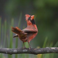 https://flic.kr/p/wucXzA | It Makes Me Want To Shout_DSC6752 | Another Cardinal…