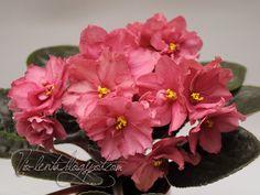 ЕК-Агатовый Тюльпан Пример цветения временно на фото из Интернета http://dimetris.com.ua/forum/viewtopic.php?p=273037&highlight=&sid=37d920071b470763b946e4586f696024