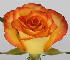 High and Magic Red-Yellow Bi-Color Rose