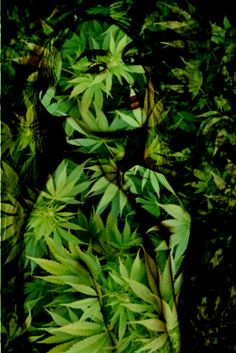 Me as a weed Weed, Plant Leaves, Herbs, Plants, Marijuana Plants, Herb, Plant, Planets, Medicinal Plants