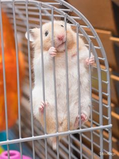 Image result for syrian hamster singapore