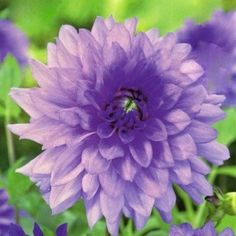Dahlia Blue Boy - Beautiful lilac semi-dinnerplate (6 inch blooms)