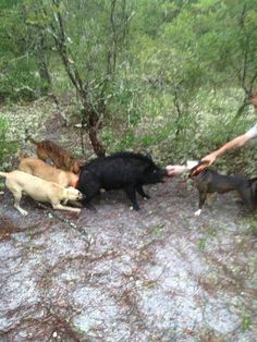 hog hunting with dogs.
