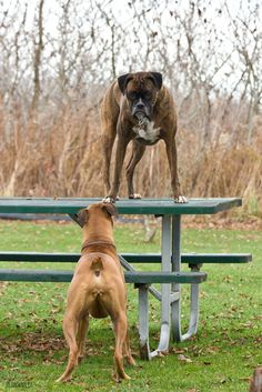 Boxers at Play, What they Love to do, play, play, play...Love #BoxerDogs ♡