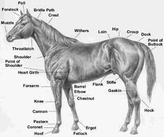 Horses have a vocabulary of their own, for tack, anatomy, and equitation. Horse Camp, My Horse, Horse Love, Horse Information, Horse Anatomy, Animal Anatomy, Horse Facts, All About Horses, Horse Tips