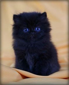 The 5 Most Popular Cat Breeds Pet Industry. Main Street Hub manages social media for busy breeders, vets, and anyone in the pet industry with a physical location. Reach out I am happy to help. #persiancatblack