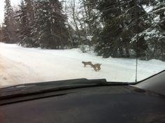 Lynx near mg old house