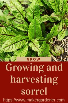 How to grow and havesting sorrel at home. Learn how to grow this easy to grow herb/ vegetable plant at home. #growingsorrel #redveinsorrel