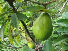 Avocat de la Martinique