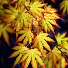 2016 fresh seeds Japanese maple tree seeds Beautiful plants decorate your home garden Japanese Maple Varieties, Japanese Maple Garden, Japanese Gardens, Bonsai Garden, Garden Plants, Acer Garden, Shade Garden, Indoor Garden, Pruning Japanese Maples