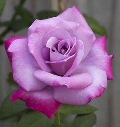 Flowers For Mom, Beautiful Rose Flowers, Love Rose, Beautiful Flowers, Birthday Wishes Flowers, Rosa Pink, Hybrid Tea Roses, Rose Photos, Rose Tattoos
