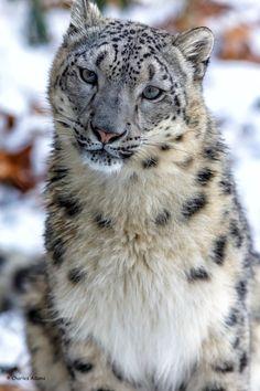 "beautiful-wildlife: ""Female Snow Leopard Portrait by Charles Adams """