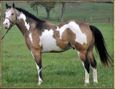 Buckskin Paint Stallion--if I ever got a horse, this is the one I have dreamed if owning