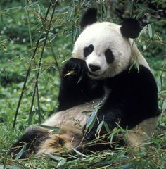 Animals in the wild are going extinct, I heard the panda might too. The WWF is trying to change that fate for all wild animals
