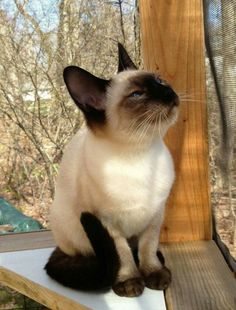 Siamese Cat Gallery - Cat's Nine Lives Siamese Kittens, Kittens Cutest, Cats And Kittens, Cute Cats, Tabby Cats, Funny Kittens, Bengal Cats, White Kittens, Black Cats