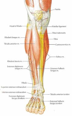 Interior Anterior Shin Muscles Another Maps Get Maps On Hd