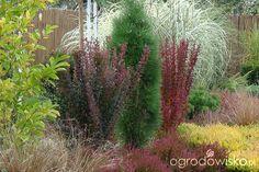 Berberys - Berberis - Forum ogrodnicze - Ogrodowisko