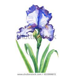 paintings of iris flowers - Yahoo Image Search Results Iris Flowers, Yahoo Images, Image Search, Paintings, Plants, Paint, Painting Art, Plant, Painting