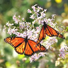 Each fall the Monarch Butterfly migrates 2,000+ miles from the Northeast US to Mexico, passing through the Asheville area in Sept and early Oct. See where to find them on #romanticasheville (link in bio). #monarchbutterflies