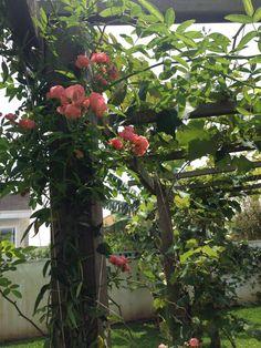 Parreira e rosas/ eu que plantei/ meu jardim em Curitiba/ Brasil/ Casa dsa Corujas <3