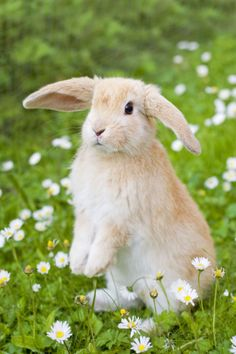 Cute Baby Bunnies, Cute Easter Bunny, Cute Babies, Mini Lop, Lop Eared Bunny, Baby Animals, Cute Animals, Indoor Rabbit, Animals Beautiful