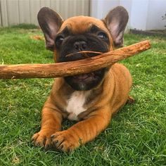 """""""Before You Go, Throw this 900 more times, ok? Exclusive and limited edition t-shirts, totes and mugs. Brindle Boxer, King Louie, French Bulldogs, Cute Dogs, Buldog, Cute Animals, Creatures, Puppies, Times"""
