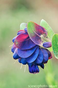 Honeywort (Cerinthe major 'Purpurascens') - I finally identified this plant in my new garden, thanks to my colleague Lizzy! The bees absolutely love this. Flora Flowers, Unusual Flowers, Flowers Nature, Amazing Flowers, Beautiful Flowers, Types Of Roses, Annual Plants, Exotic Plants, Trees To Plant