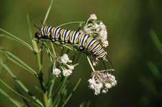 A caterpillar feeding on a Whorled Milkweed