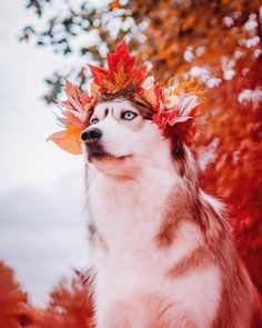"""Receive excellent ideas on """"Siberian Husky Dogs"""". They are actually available for you on our website. Cute Funny Animals, Funny Animal Pictures, Cute Baby Animals, Funny Dogs, Cute Puppies, Cute Dogs, Dogs And Puppies, Doggies, Siberian Husky Dog"""