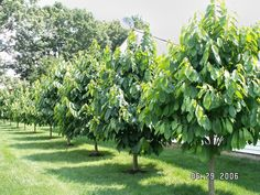 PawPaw Tree. Choose your varieties carefully, some are more tasty than others and plant at least two for pollination.