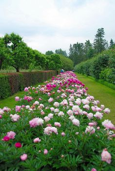 The Long Peonie Border at Penshurst Place | Flickr - Photo Sharing!
