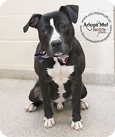 URGENT!  I am at a kill shelter in Troy, OH - Pit Bull Terrier. Meet Diesel, a dog for adoption. http://www.adoptapet.com/pet/10897557-troy-ohio-pit-bull-terrier