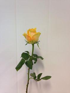 Norsk navn: Rose - 'Cuba Libre'  Botanisk navn: Rosa - 'Cuba Libre'