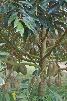 Budidayanya Durian Tree, Fruit Photography, Beautiful Fruits, Fruit Garden, Fruit Trees, Plant Leaves, Coconut, Landscape, Plants