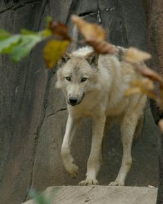 Wolfie at the Memphis zoo