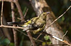 Bellbird on Kapiti Island.