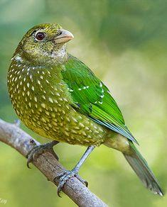 Green Catbird - Ailuroedus crassirostris by Gerard Satherley